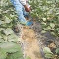 脱毒草苗批发价格 银庄农业出售各种品种草莓苗