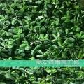 上海甜宝草莓苗2019年秋季价格