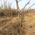 梨树苗价格 黄金梨苗当年结果 银庄农业现货供应