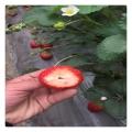 盆栽地栽脱毒法兰地草莓苗早丰产易成活收益高包成活