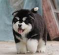 广州白云区附近卖狗的 三元里哪买阿拉斯加好 雪橇犬