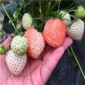 哪里有美十三草莓苗、美十三草莓苗多少钱