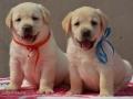 东莞评价口碑好的狗场 东莞在哪里有卖拉布拉多小狗