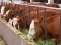 牛吃什么长得快 牛吃什么长膘快 瘦牛催肥十五偏方