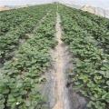 大棚草莓苗 草莓苗培育基地 山东银庄农业出售