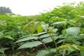 黑油香椿苗价格 黑油二年香椿苗