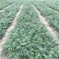 矮化大棚香椿树苗、矮化大棚香椿树苗出售