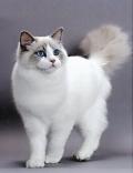 惠州哪里有卖布偶猫 惠州布偶猫多少钱
