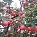 新品种爱妃苹果苗出售、爱妃苹果苗多少钱一棵