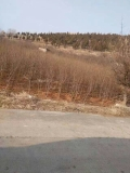石榴树全规格供应运城果树基地