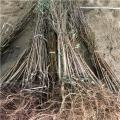 哪里有黑布朗李子树苗哪里有黑布朗李子树苗哪里有基地