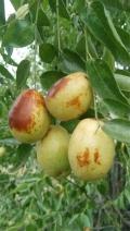 胎里红枣苗今年价格 胎里红枣苗品种特点