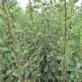 甜红山楂树苗出售、甜红山楂树苗价格
