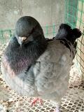 大体型的元宝鸽吃的什么食物