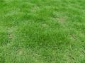 合肥不需要修剪的草坪种子草籽价格