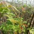 湖北红油香椿苗 各种规格 香椿苗繁育基地直销