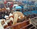 来宾肉牛养殖张北县牲畜市场 西门塔尔肉牛犊华北牲畜