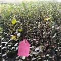 山东蓝莓苗 批发各种蓝莓小苗 价格合理 量大优惠