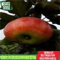 中秋王苹果苗品种、中秋王苹果苗优质种苗