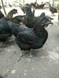 买绿壳蛋鸡苗就选广汉中力家禽养殖