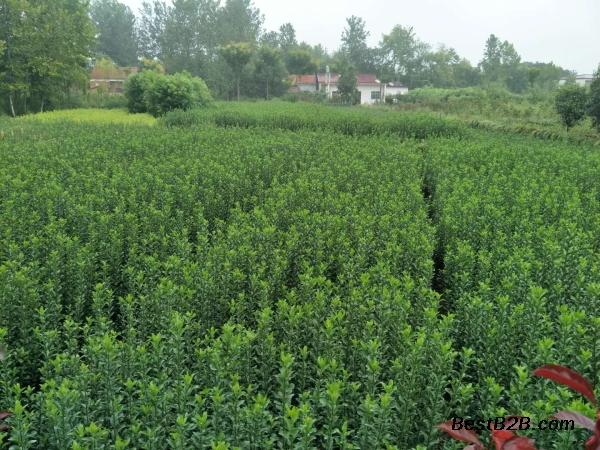 六安2公分紫荆苗圃处理