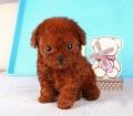 天河区有没有这个狗场 珠江新城哪里有卖茶杯泰迪熊犬
