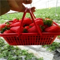 2019年四季美德莱特草莓苗价格、四季美德莱特草莓苗基地