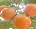 富有柿子苗今年价格 富有柿子苗品种特点