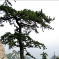 华山松叶提取物10:1 植物源生根剂 松香 松节油