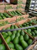 广州集果轩大量供应进口水果鳄梨智利牛油果一手货批发