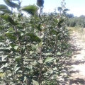 苗圃现货梨树苗 梨苗种植基地 大量供应 价格合理