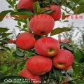 维纳斯黄金苹果树苗出售基地、维纳斯黄金苹果树苗基地