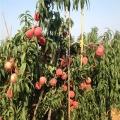 苹果树苗批发基地、苹果树苗批发价格