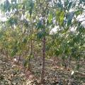 批发占地桃树 5公分绿化桃树 6公分景观桃树