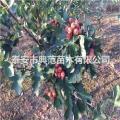 山楂树苗价格 山楂树苗种植技术介绍