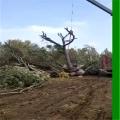 山东菏泽合欢种植基地、10公分合欢树量大价低