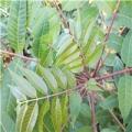 泰山红油香椿苗价钱及报价、一年泰山红油香椿苗产地价