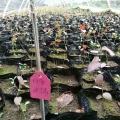 蓝莓树苗价格 山东蓝莓苗种植基地 大量供应 低价销