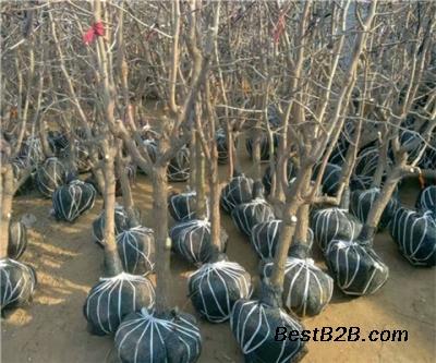 葫芦枣树苗基地、三年葫芦枣树苗包邮零售价格