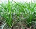 三台麦冬草绵阳麦冬苗绿化麦冬草批发基地