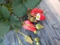 山东哪家白皮草莓苗价格便宜