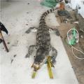 贵州鳄鱼养殖场鳄鱼苗多少钱一条