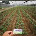上海久香草莓苗价格