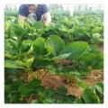 南北方种植佐贺清香草莓苗 脱毒抗病虫易成活早丰产