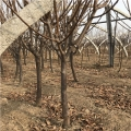美国黑李子苗、美国黑李子树苗新品种