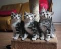 美国短毛猫好养吗_美国短毛猫多少钱_惠州哪里有猫舍