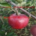 拓季苹果树苗出售基地、拓季苹果树苗批发报价
