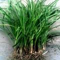 西安麦冬草那最多 150亩苗圃品种齐全