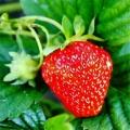 圣诞红草莓苗价格 草莓苗新品种 自家苗圃出售