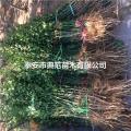 枳壳苗种植时间、山东枳壳苗基地